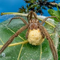 Nursery web spider (cf. Nilus sp.) - DSC_2871 (nickybay) Tags: bugshot mozambique gorongosa macro africa cctv wideangle pisauridae nilus dolomedes nursery web spider
