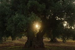 The light within (Mi-Fo-to) Tags: xylellafastidiosa xylella puglia italy italia ulivi ulivo secolare oliven tree nature light luce golden dorata batterio bacteria