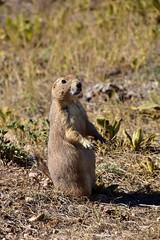 Prairie Dogs (MarkusR.) Tags: mrieder markusrieder nikon d7200 nikond7200 vacation urlaub fotoreise phototrip usa 2017 usa2017 southdakota custerstatepark landscape landschaft natur nature animals tiere wildlife prairiedogs präriehunde coldbrookcanyontrail trail hike wanderung