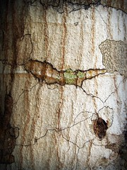 Tree Bark Stock Photo (www.icon0.com) Tags: bark tree wood pine background abstract skin board surface closeup rough natural brown rotten line history corroded corrosion old plank macro protection detailed aging wall time barn lumber forest texture design plant trunk antique wooden forestry grunge tracery rugged nature environment detail pattern weathered textured woodwork dry timber material