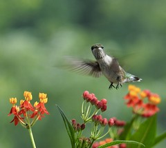 One Ruby Feather (Trish Overton) Tags: juvenilerubythroatedhummingbird one ruby feather butterfly weed