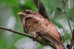 Frogmouth (kezbieh) Tags: frogmouth bird india sanctuary wild kerala thattekad