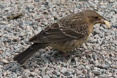 Brown-headed Cowbird (juv) (Terrance Carr) Tags: dncb tfn 20180813 reifel 2018 august terry carr terrycarr