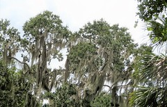 Oak trees and spanish moss 7875 (Tangled Bank) Tags: lake george state forest volusia county florida wild nature natural park area preserve outdoors woods trail hiking oak trees spanish moss 7875 plant flora botany