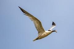 Sandwich Tern Inflight after Catching (dbadair) Tags: outdoor seaside shore sea sky water nature wildlife 7dm2 ocean bird flight bif