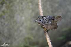 Streaked Wren Babbler (Ard.Pixtures) Tags: babbler bird birds birding birdphotography birdwatching birdwatcher explore aperture shutter wild nature jungle forest wildlife free streaked wren nikon nikonflickraward nikkor d750 200500mm focal length depth field green