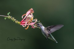 Ruby throated Hummingbird (Christy Hibsch ( Christy's Creations on Facebook )) Tags: bird hummingbird nature rubythroated wny honeysuckle flower watcher flowerwatcher