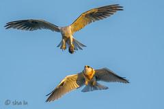 DSC02456 (sha lu) Tags: whitetailed kite food exchange