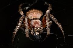 Orb-weaver spider (Eriophora sp) (JulGlouton) Tags: spider orbweaver orb weaver eriophora arachnid araignée araneidae rainforest darien darién panama worldheritage