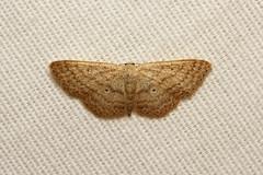 Geometridae, Scopula sp. - Isunga, Uganda. (Nick Dean1) Tags: animalia arthropoda arthropod hexapoda hexapod insect insecta lepidoptera moth isunga kibalenationalpark kibale uganda