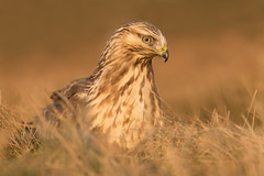 Rough-legged Buzzard Buteo lagopus (janmangorfagerland) Tags: animal birds bird birdphoto bokeh birdsgallery birding birdsofnorway brown colours d800e dephtoffield distinguishedbirds dof evening 300mmvrii28g fagerland field fugler flickr fuglebilder fauna juvenil raptor fjellvåk høst autumn grass sunset jan janfagerland janmangorfagerland karmøy light mangor mjåvatn nikon outdoor ornithology orange photography photo norway nature norge natur nikkor tc14eiii sun wildlife wildbirds