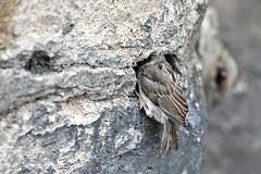 Sparrow # 2 (just.Luc) Tags: bird vogel oiseau moineau sparrow mus spatz wall muur mur mauer parijs parigi paris îledefrance france frankrijk frankreich francia frança dier animal tier natuur nature gaia fauna monochrome monochroom monotone
