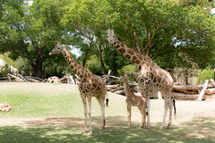 _MGL2168 Brandy, Baby and Captain.jpg (shutterbugdancer) Tags: giraffe reticulatedgiraffe africansavanna fortworthzoo fortworth