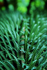 Among the Multitude (Solène.CB) Tags: plant plante fern fougère one many multitude colour couleur green vert solènecb canoneos70d chelseaphysicgarden london londres
