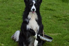 Ooops I've put a stick in a non stick pan (ASHA THE BORDER COLLiE) Tags: funny dog picture border collie fun photo pan stick caption ashathestarofcountydown connie kells county down photography