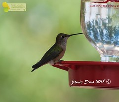 Broad-tailed Hummingbird (ironekilz) Tags: chatfieldstatepark