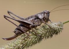 Dark Bush Cricket 9th August W (Gavin Vella) Tags: cricket crickets bugs bug bugsuk britishbugs canon7dmkii canon macro macrolens