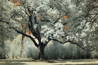 Old Live Oak Tree with Bamboo Background (red plus infrared)