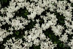 DSC00469_DxO (Kallu Medeiros) Tags: kallumedeiros purmerend nex5 autochinon55mm114 5514 auto chinon bloemen flowers flôres flor holland noordholland holanda nederland sony m42