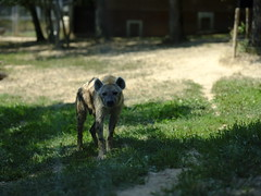 Hyena (cosbrandt) Tags: hyena safari gfx50s gf110mm