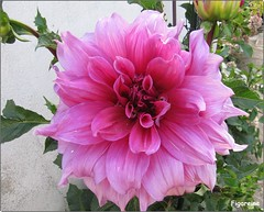 Dahlia Emory Paul (Figareine- Michelle) Tags: dahlia emory paul coth alittlebeauty coth5 fantasticnature