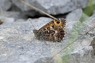 Grayling, White Scar, Cumbria, England