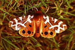 Garden Tiger Moth (Arctia caja), Blacksole Farm 1980 (nedjetwave) Tags: tigermoth gardentiger arctiacaja moths insects invertebrates fauna blacksolefarm beltinge pentaxspotmatic analogue scanfromfilm
