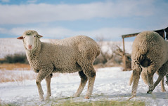 wyoming winter, part four (manyfires) Tags: wyoming rural farm ranch roadtrip winter snow cold nikonf100 35mm analog film animal animalscape portrait sheep ovine hay bokeh wooly wool livestock