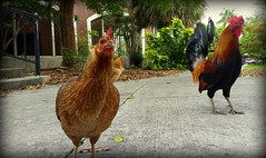 You'll Need A Zip Code For That (gatorgalpics) Tags: postoffice keywest natives friendly chickens roamingfree