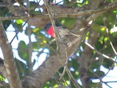 Petroica rosea 2 (barryaceae) Tags: saltwater national park australianbirds bird birds new south wales australia ausbirds ausbird rose robin petroica rosea