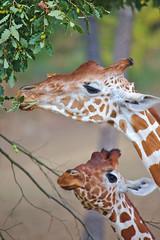 EOS 6D Mark II_1826 (Dave Melling) Tags: zoo reticulatedgiraffe brno somaligiraffe giraffacamelopardalisreticulata giraffe
