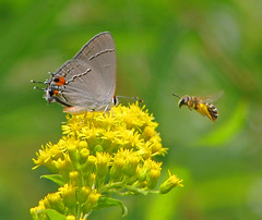 face-off (Vicki's Nature) Tags: grayhairstreak butterfly gray red spots bee goldenrod yellow wildflowers biello georgia vickisnature canon s5 8118 august