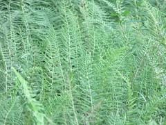 Canaan Valley (JJP in CRW) Tags: canaanvalley westvirginia tuckercounty ferns