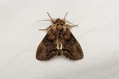Notodontidae, Atrasana sp. - Isunga, Uganda (Nick Dean1) Tags: animalia arthropoda arthropod hexapoda hexapod insect insecta lepidoptera moth isunga kibalenationalpark kibale uganda