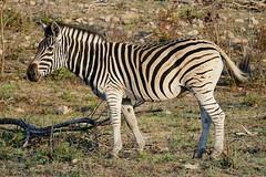 Burchell's zebra (Equus quagga burchellii) (Susan Roehl) Tags: southafrica2015 southafrica nearkrugernationalpark sabisabigamereserve burchellszebra equusquaggaburchellii animal mammal male herbivore femalesmalessamesize yeararoundproduction sueroehl photographictours naturalexposures panasonic lumixdmcgh4 100400mmlens handheld slightlycropped grass coth5 ngc npc