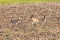 Pronghorn bucks watching the photographer
