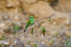 Green Bee-eater (PB2_2750) (Param-Roving-Photog) Tags: green beeeater bird wildlife nature jungle safari chilla rajaji nationalpark uttarakhand india birding birdphoography wildlifephotographer nikond7200 tamron150600