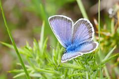 Silver studded Blue (LeighBirder) Tags: silver studded blue plebius argus crockford
