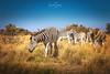 Zebras ... Khama Rhino Sanctuary, Botswana (nigel_xf) Tags: zebra khamarhinosanctuary wildpark wildnis africa afrika botswana wildlife nikon d750 nigel nigelxf vsfototeam