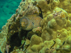 Emerging from its lair (Explored) (Rick Derevan) Tags: maui hawaii underwater snorkel scuba pacific pacificocean eel morayeel whitemouthmoray
