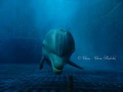 Goccia (Clara - Clerss Malisha) Tags: delfini dolphins delfino dolphin dauphin dauphins delfinodalnasoabottiglia delphin dolphinplays daughter mammal mammals mammifero mammiferi marinemammals marine animal animals animale animali acquariodigenova aquarium aquariumofgenoa liguria genova genoa wonderful cute cetacei cetaceans cetaceo cetacean captivity cattività cautiverio ecolocalizzazione ecolocation italy italia intelligent interaction intelligenti interazione interactions north europe tursiope tursiopstruncatus tenero tierno tursiops truncatus love lovely girls