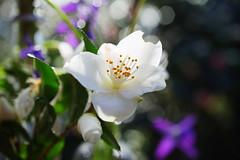 Bouquet (Home & Happy) Tags: camellia violets