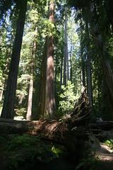 IMG_6096 (willsonworld) Tags: redwoods california ca calif mercedes benz dan jose 2014 forest trees giants mendocino county