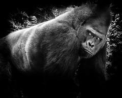 Silverback (f.albertowilson) Tags: animals omaha zoo henrydoorlyzoo doorly gorilla silverback ape monkey bw blackandwhite panasonic g85 lumix 14140mm bnw flickrchallengewinner flickrchallengegroup