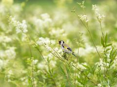 P6220006 (turbok) Tags: stieglitz tiere vögel wildtiere c kurt krimberger