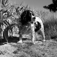 Daisy Amongst The Corn (Geralindo**) Tags: 6x6 blackandwhite daisy ilfordfp4 mediumformat rodinal199 semistanddevelopment springerspaniel standdevelopment tlr yashicamat124g