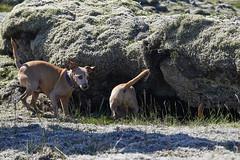 6-august-kotlugengi-sandfellsleid_095 (Stefán H. Kristinsson) Tags: sandfellsleið hundar dogs hiking reykjanes sandfell nikond800 tamron2875mm iceland ísland summer ágúst 2018 sunshine