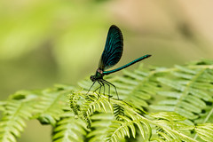 Beautiful Demoiselle (Martin F Hughes) Tags: martin hughes canon 7d mkii mk2 devon dartmoor beautifuldemoiselle blue purple