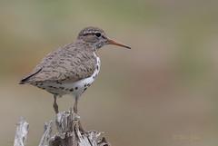 Spotted! (Eric_Z) Tags: spottedsandpiper sandpiper shorebirds portcoquitlam blakeburnlagoon britishcolumbia canada canoneos7dmkii ef100400mmf4556lisiiusm explored