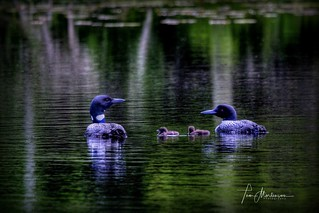Loon Family Outing